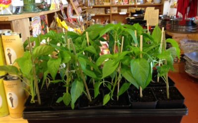 Padron Pepper Plants, Chabichou, Weekend Wines