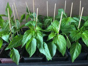 Padron Plants