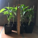 Padron pepper plants 2019