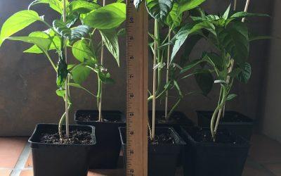 Padron Pepper plants, Epoisses